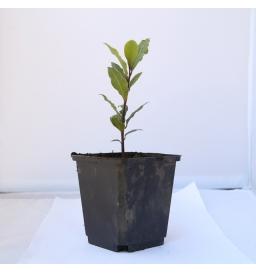Plant de Laurier Sauce