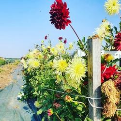 Encore quelques semaines pour profiter de toutes ces belles fleurs !!! Bouquets coupés a la commande ! réservation sur www.ecocinelle.net et en boutique 💐🌻🌼🌿🌱🏵🐞🐞🐞🐞🐞Ecocinelle boutiqueEpicerie indépendante ouvert du mardi au vendredi : 10h-13h / 15h-19h etle samedi : 9h30-13h30 / 15h30-19h12 rue nationale 78940 LA QUEUE LEZ YVELINESTél :09 51 52 49 48----Parking à 20 mètres------N'hésitez pas à liker, partager, commenter et donner votre avis sur google pour nous soutenir !------ #local #vrac #locavore #vracindependant #zerodechet #epicerieindependante #ecoresponsable #zerowaste #antigaspi #yvelines #produitslocaux #produiteniledefrance #laqueuelezyvelines #galluis #montfortlamaury #garancieres #ecocinelle #jardinsdimbermais #fleurslocales #tournesol #bouquets