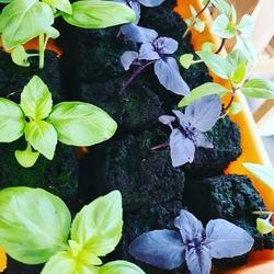 En ce jour de 1er Mai, nous vous proposons des plants de basilic (vert, pourpre et thaï) et des plants de tomates à défaut d avoir du muguet ☺ Merci aussi à @emmanuelcoupin pour la livraison un jour férié de saumons et truites de la pisciculture de Villette ! #plantsaromatiques #pisciculturedevillette #mangezlocal #produiteniledefrance #1ermai #ecocinelle