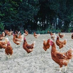 C'est à Longnes, (78980) seulement 30 minutes d'ici, que vous trouverez les poules rousses de Marie Legris qui nous fournissent les œufs Bio de la boutique. 🐔Les poulettes de Mirbel évoluent dans le bien-être, c'est à dire, elles sont libres de mouvement dans un bois et un grand jardin. 🌳🌲🌾Elles sont nourries avec des céréales bio elles aussi et leurs besoins physiologiques sont respectés.Crédits photo ELLSA#agriculturebiologique🍃 #lespoulettes #lesrousses #libre #cerealesbio #bienetreanimalEcocinelle boutiqueEpicerie indépendante ouvert du mardi au vendredi : 10h-13h / 14h-18h etle samedi : 9h-13h / 14h-18h12 rue nationale 78940 LA QUEUE LEZ YVELINESTél :09 51 52 49 48----Parking à 20 mètres------N'hésitez pas à liker, partager, commenter et donner votre avis sur google pour nous soutenir !------ #local #vrac #locavore #vracindependant #zerodechet #epicerieindependante #ecoresponsable #zerowaste #antigaspi #yvelines #produitslocaux #produiteniledefrance #laqueuelezyvelines #galluis #montfortlamaury #garancieres #ecocinelle