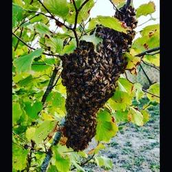 Une de nos fidèles clientes nous a appelés pour récupérer un essaim d'abeilles qui s'était tranquillement posé dans un de ses arbres 🐝🌳 Nous avons donc fait appel à un de nos apiculteurs afin qu'il vienne le récupérer pour le placer dans une de ses ruches 🍯 Un chouette passage d'info et d'entraide comme on aime chez Ecocinelle 😊#abeilles #nature #apiculteur #miel #bee #ruche----- Ecocinelle boutiqueEpicerie indépendante ouvert du mardi au vendredi : 10h-13h / 15h-19h et le samedi : 9h30-13h30 / 15h30-19h 12 rue nationale 78940 LA QUEUE LEZ YVELINES Tél :09 51 52 49 48 ---- Parking à 20 mètres ------ N'hésitez pas à liker, partager, commenter et donner votre avis sur google pour nous soutenir ! ------ #local #vrac #locavore #vracindependant #zerodechet #ecoresponsable #zerowaste #antigaspi #yvelines #produiteniledefrance